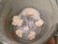 Milchkefirknöllchen